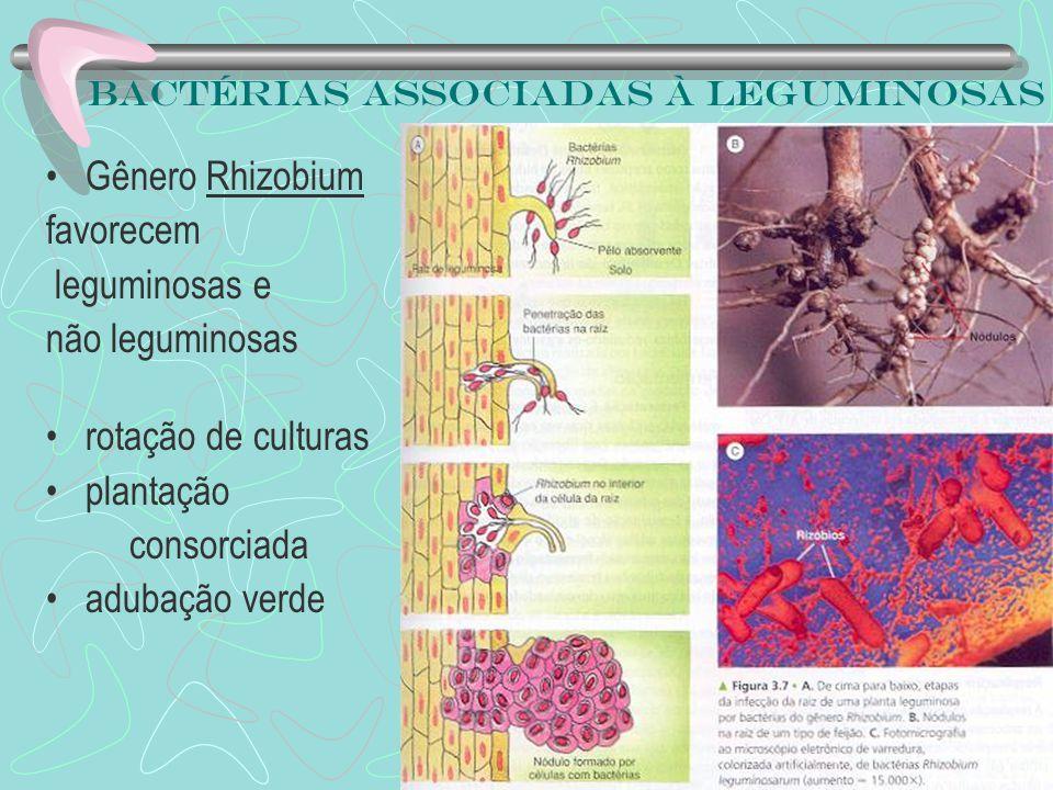 Bactérias associadas à leguminosas Gênero Rhizobium favorecem leguminosas e não leguminosas rotação de culturas plantação consorciada adubação verde