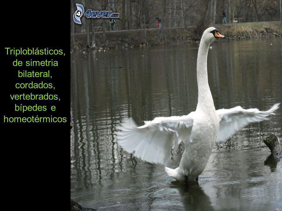 Quando uma ave está pousada, a respiração faz-se pelo arfar do peito.
