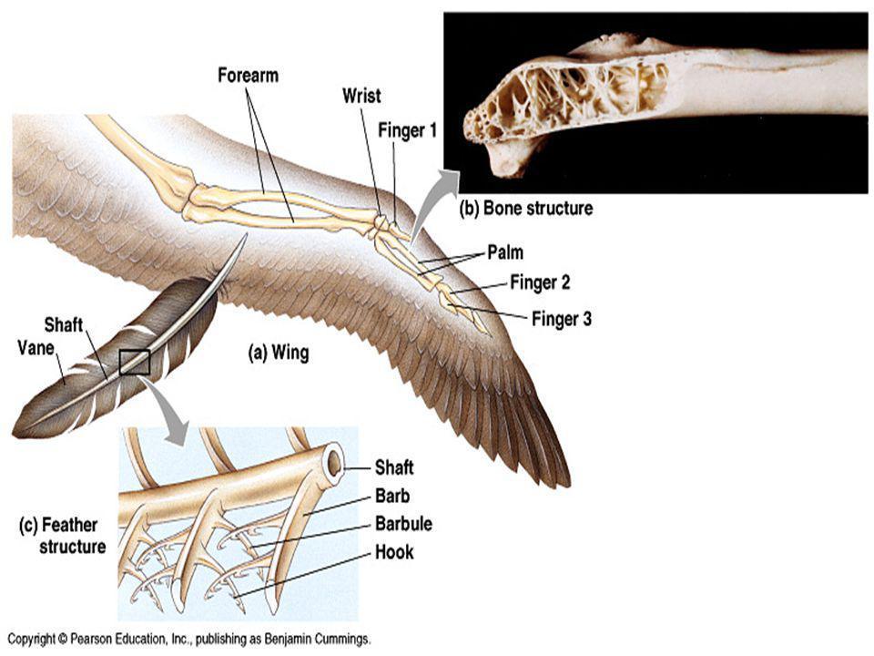 São tetrápodes, com o par anterior transformado em asas; o posterior adaptado para empoleirar, andar ou nadar.