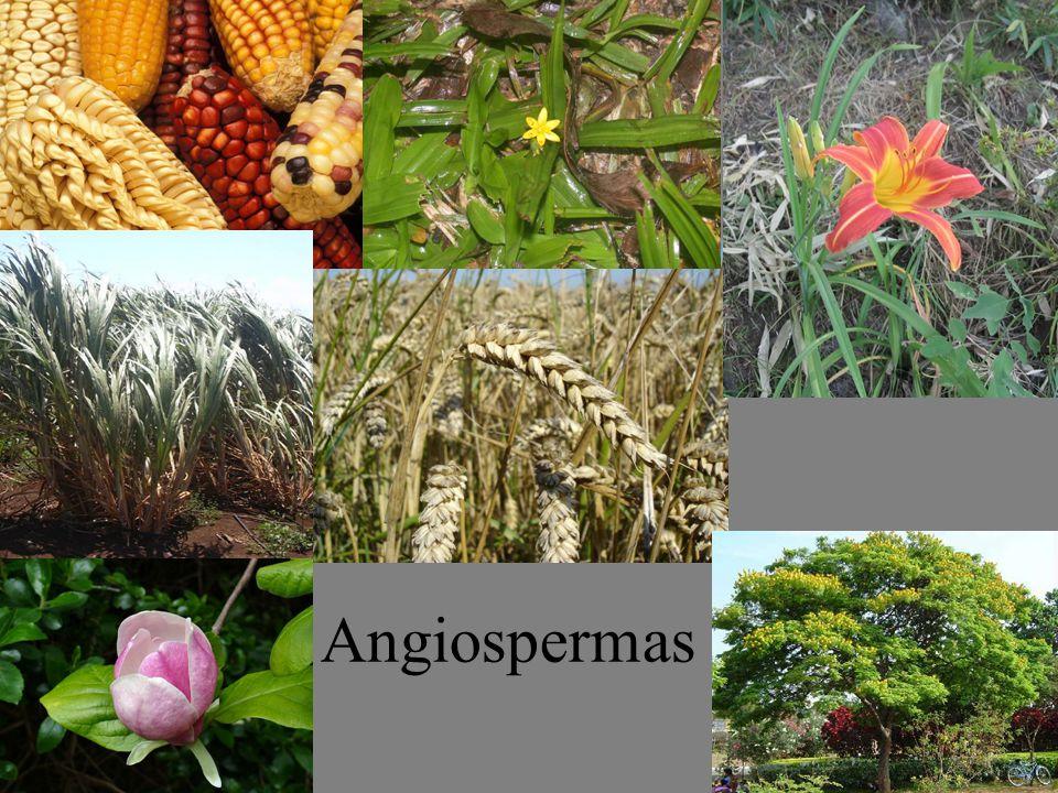 Fruto múltiplo ou agregado ou infrutescência Frutos (originados de várias flores) que se fundem