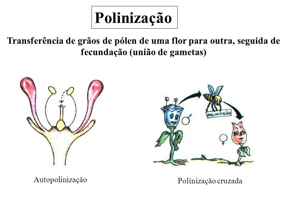 Polinização Transferência de grãos de pólen de uma flor para outra, seguida de fecundação (união de gametas) Polinização cruzada Autopolinização
