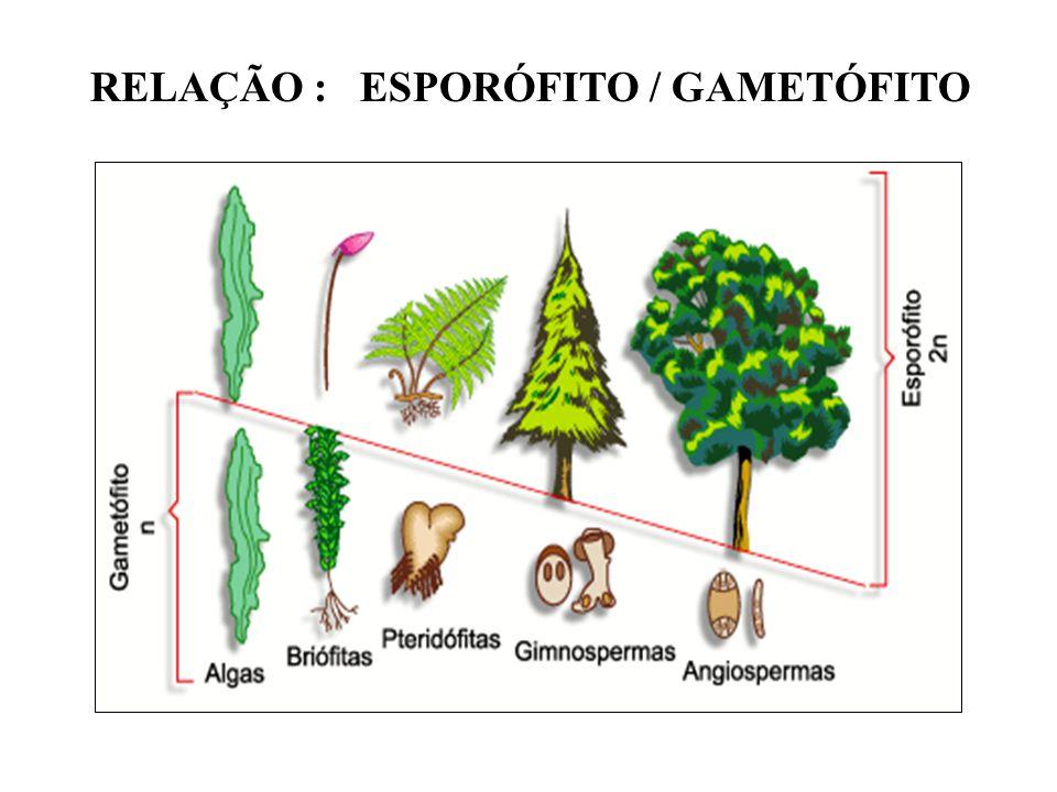 grãos de pólen semente gimnospermasangiospermas órgão reprodutor evidente