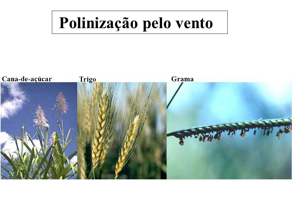 Polinização pelo vento Cana-de-açúcar Trigo Grama