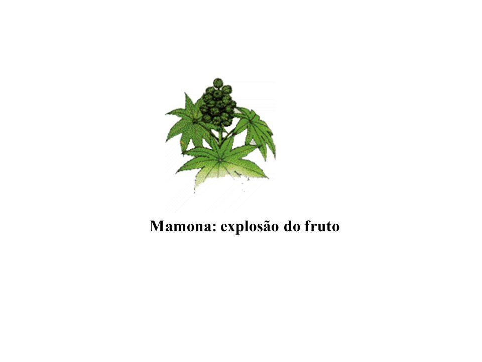 Mamona: explosão do fruto