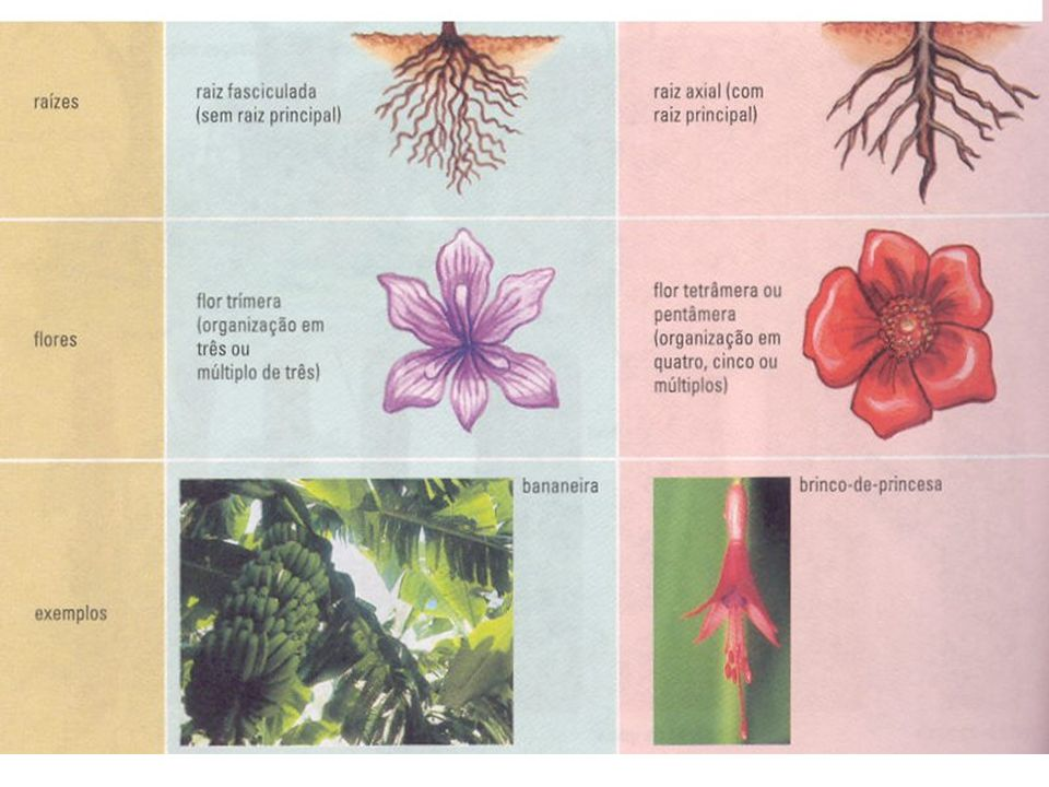 inflorescência de girassol