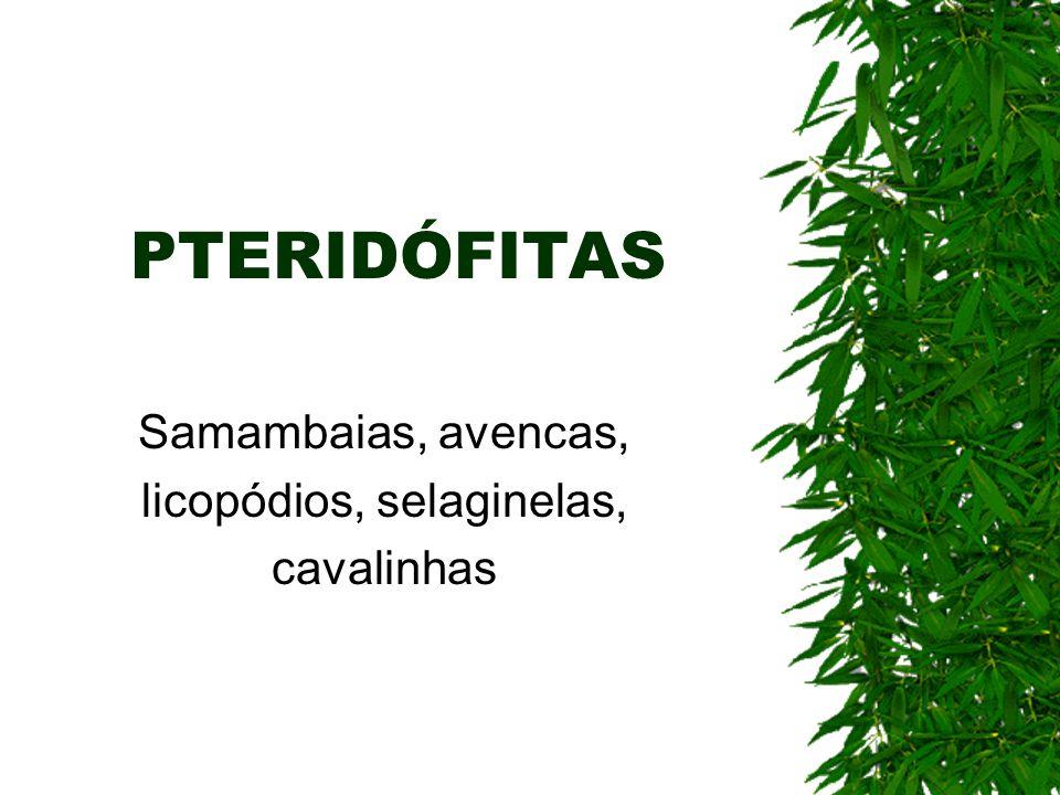 PTERIDÓFITAS Samambaias, avencas, licopódios, selaginelas, cavalinhas