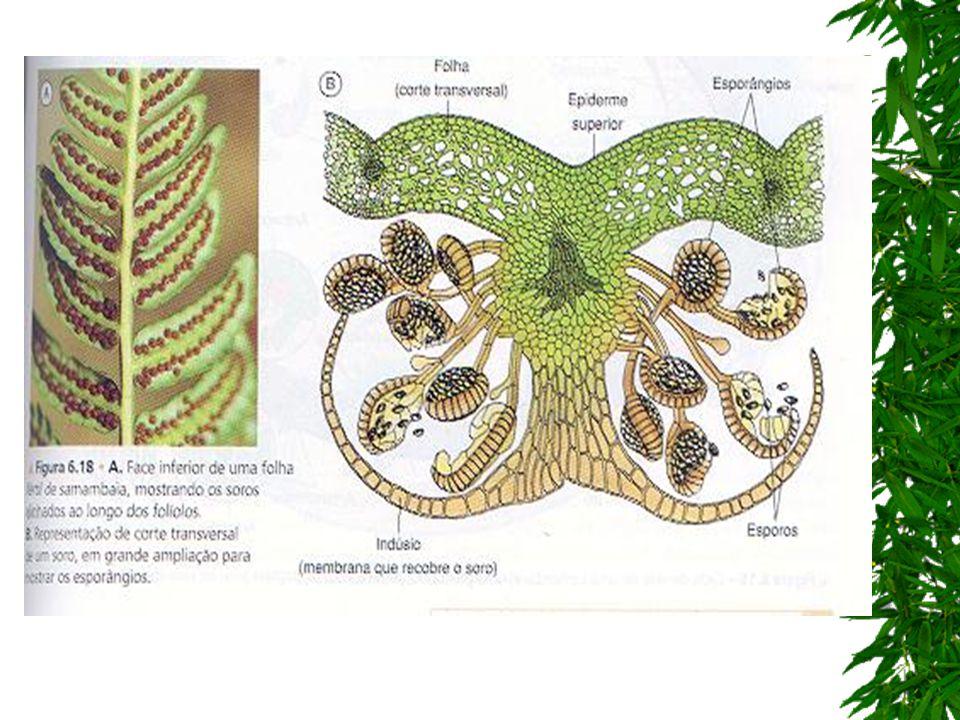 prótalo se encontrar condições de iluminação e umidade favoráveis, o esporo se divide por mitose e origina o prótalo (gametófito); obs.: em espécies isosporadas, o prótalo é monóico, isto é, forma tanto o arquegônio (feminino) quanto o anterídio (masculino) = hermafrodita; oosfera o arquegônio é uma estrutura em forma de vaso em cujo interior se diferencia a oosfera (gameta feminino).