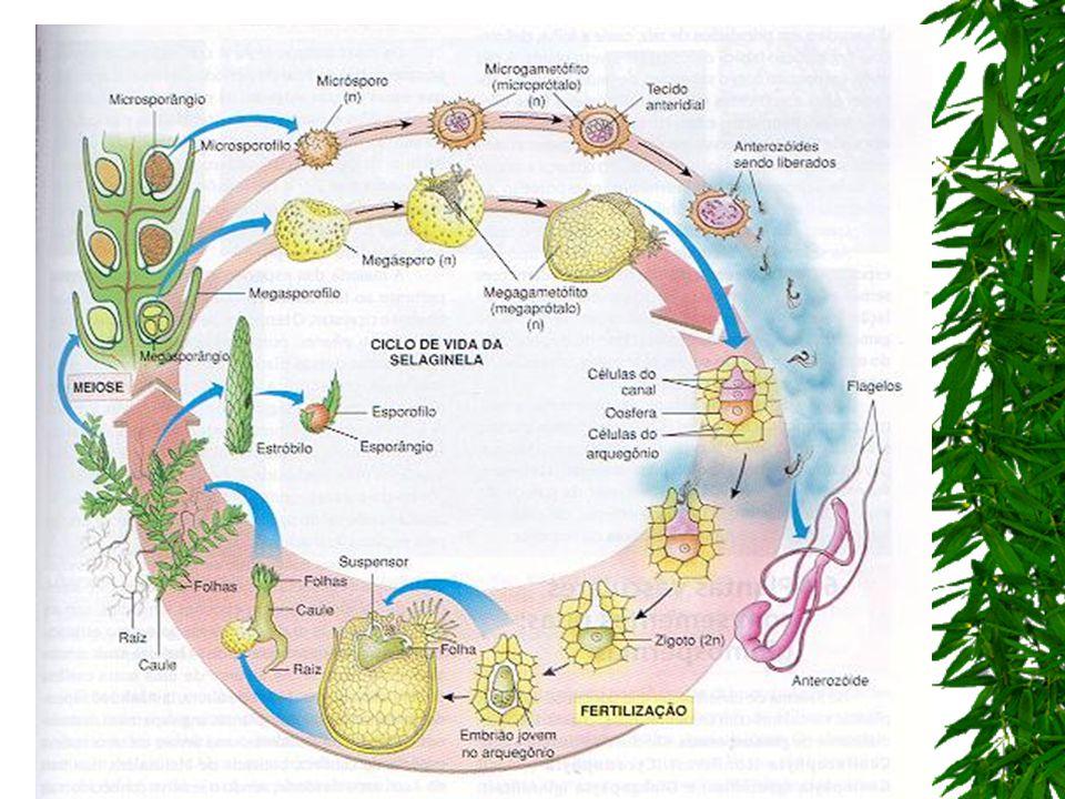 esporofilos estróbilos nas folhas férteis dos esporófitos da selaginela, os esporofilos ficam agrupados nas extremidades de ramos especiais, formando os estróbilos; esporângio esporócitoas células-mãe dos esporos cada esporângio é constituído por um pedúnculo e por uma bolsa com os esporócito, as células-mãe dos esporos; esporócitos esporos haplóides os esporócitos dividem-se por meiose, dando origem a esporos haplóides;