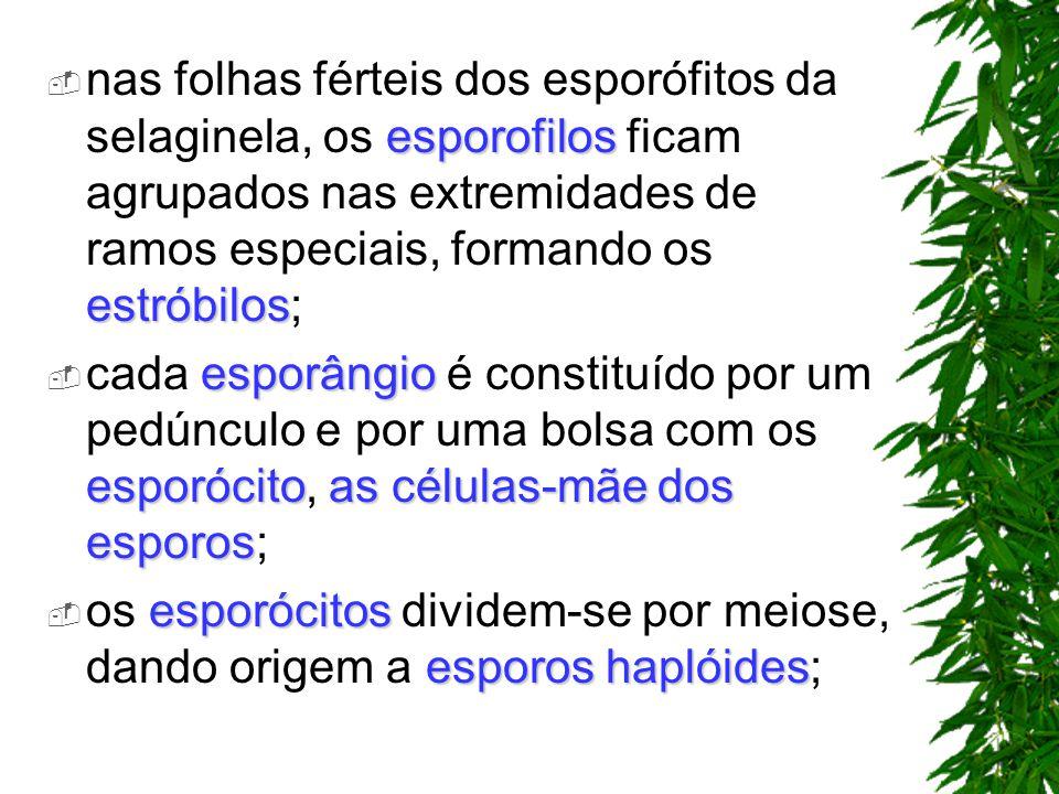 esporofilos estróbilos nas folhas férteis dos esporófitos da selaginela, os esporofilos ficam agrupados nas extremidades de ramos especiais, formando