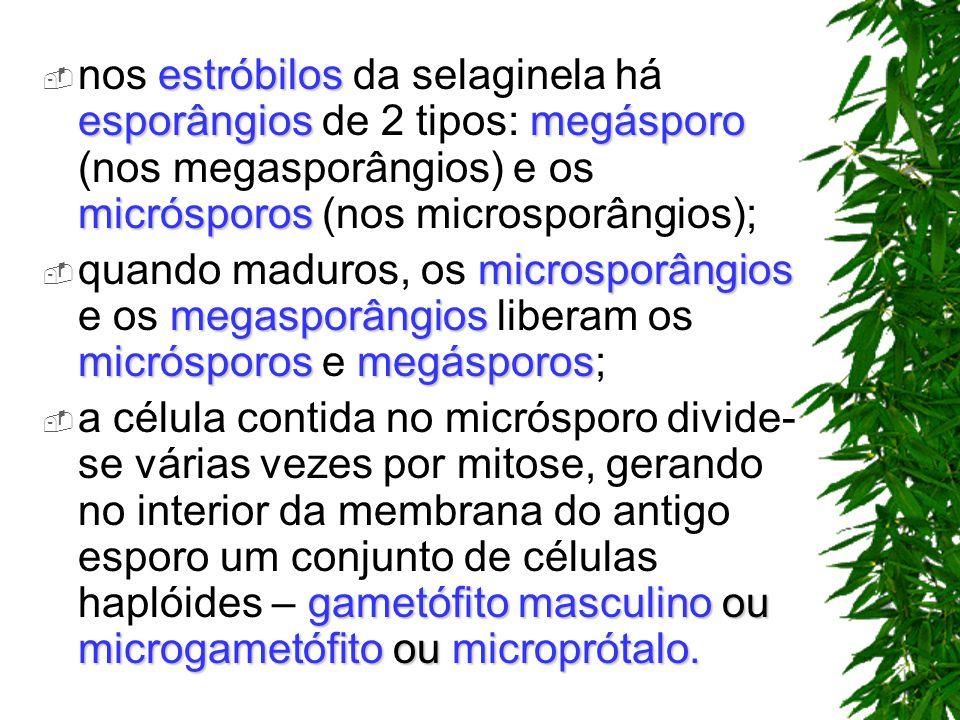 estróbilos esporângiosmegásporo micrósporos nos estróbilos da selaginela há esporângios de 2 tipos: megásporo (nos megasporângios) e os micrósporos (n