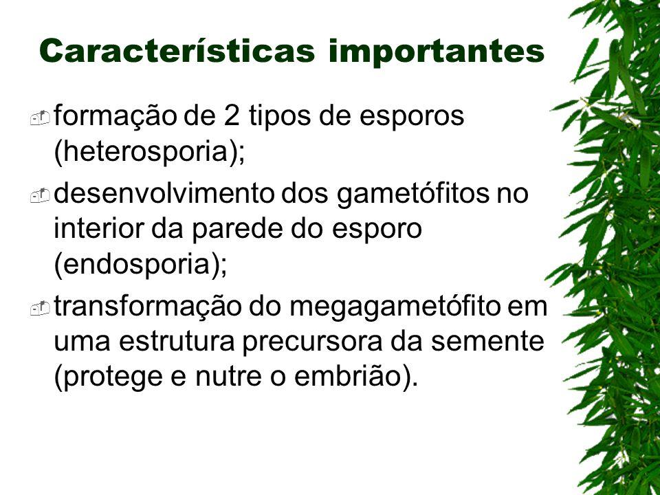 formação de 2 tipos de esporos (heterosporia); desenvolvimento dos gametófitos no interior da parede do esporo (endosporia); transformação do megagame