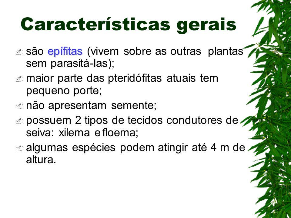 Características gerais epífitas são epífitas (vivem sobre as outras plantas sem parasitá-las); maior parte das pteridófitas atuais tem pequeno porte;