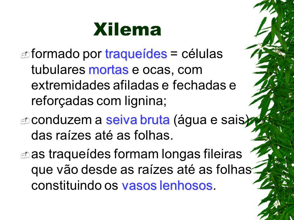 Xilema traqueídes mortas formado por traqueídes = células tubulares mortas e ocas, com extremidades afiladas e fechadas e reforçadas com lignina; seiv