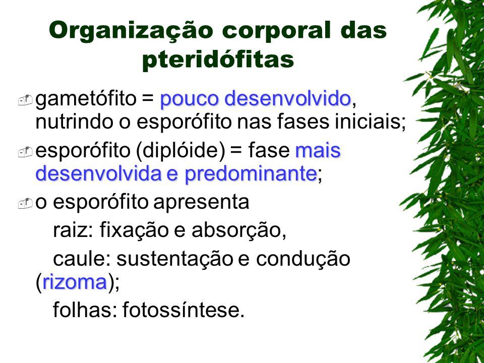 Organização corporal das pteridófitas pouco desenvolvido gametófito = pouco desenvolvido, nutrindo o esporófito nas fases iniciais; mais desenvolvida