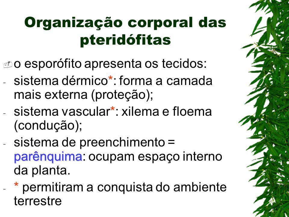 Organização corporal das pteridófitas o esporófito apresenta os tecidos: - sistema dérmico*: forma a camada mais externa (proteção); - sistema vascula