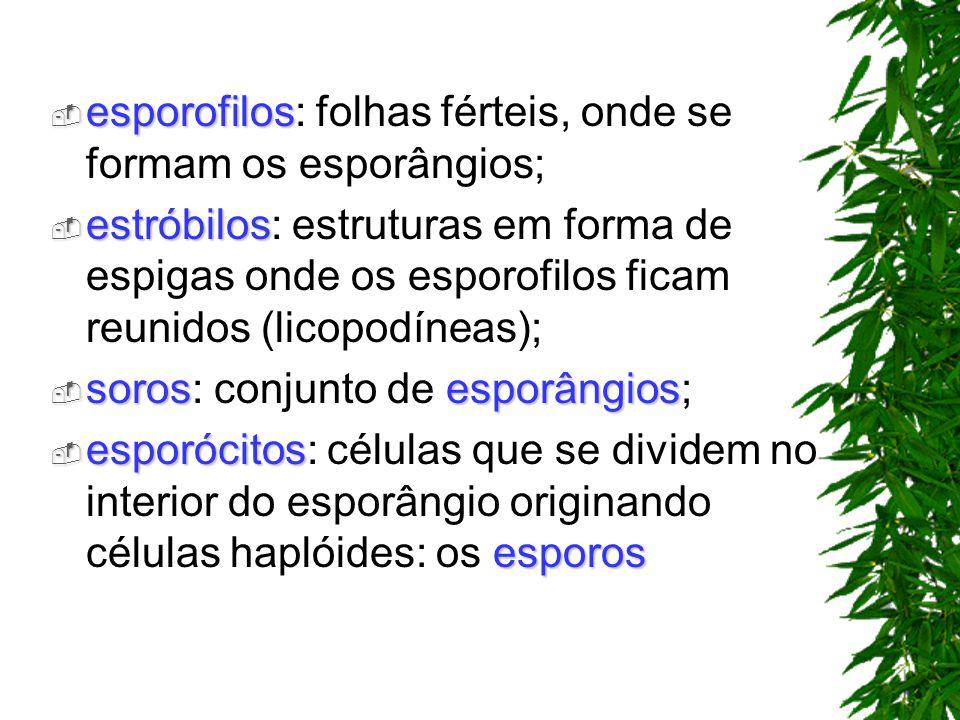 esporofilos esporofilos: folhas férteis, onde se formam os esporângios; estróbilos estróbilos: estruturas em forma de espigas onde os esporofilos fica