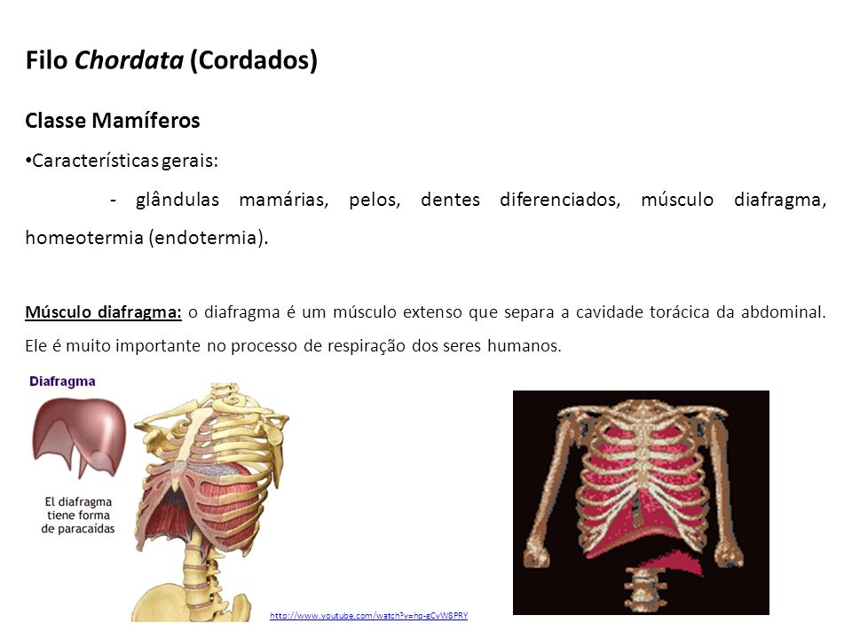 Classe Mamíferos Características gerais: - glândulas mamárias, pelos, dentes diferenciados, músculo diafragma, homeotermia (endotermia). Músculo diafr