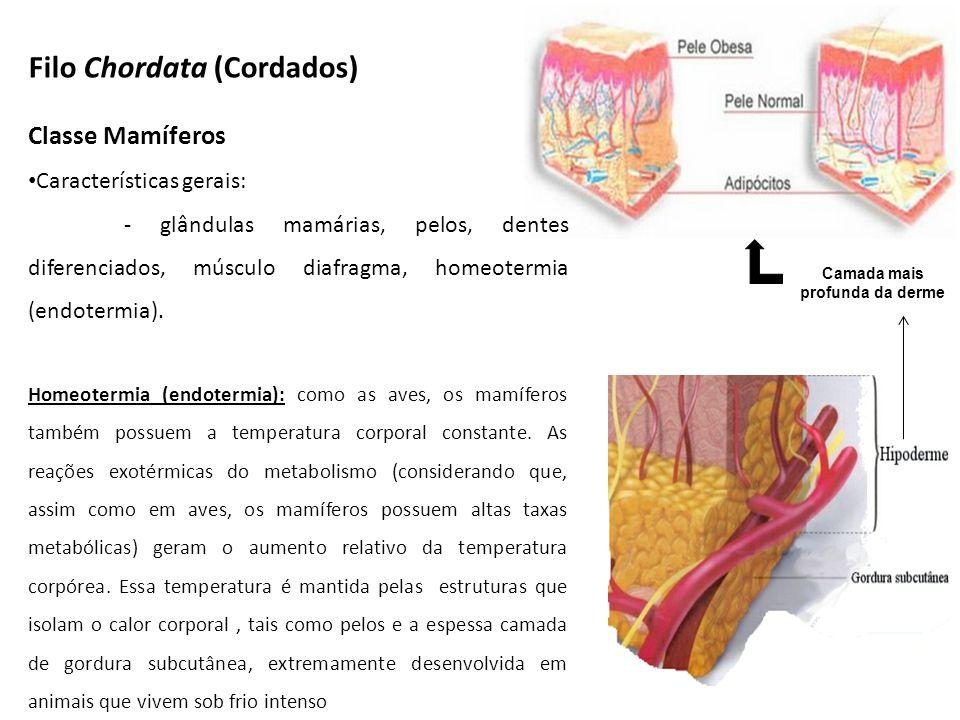 Classe Mamíferos Características gerais: - glândulas mamárias, pelos, dentes diferenciados, músculo diafragma, homeotermia (endotermia). Homeotermia (
