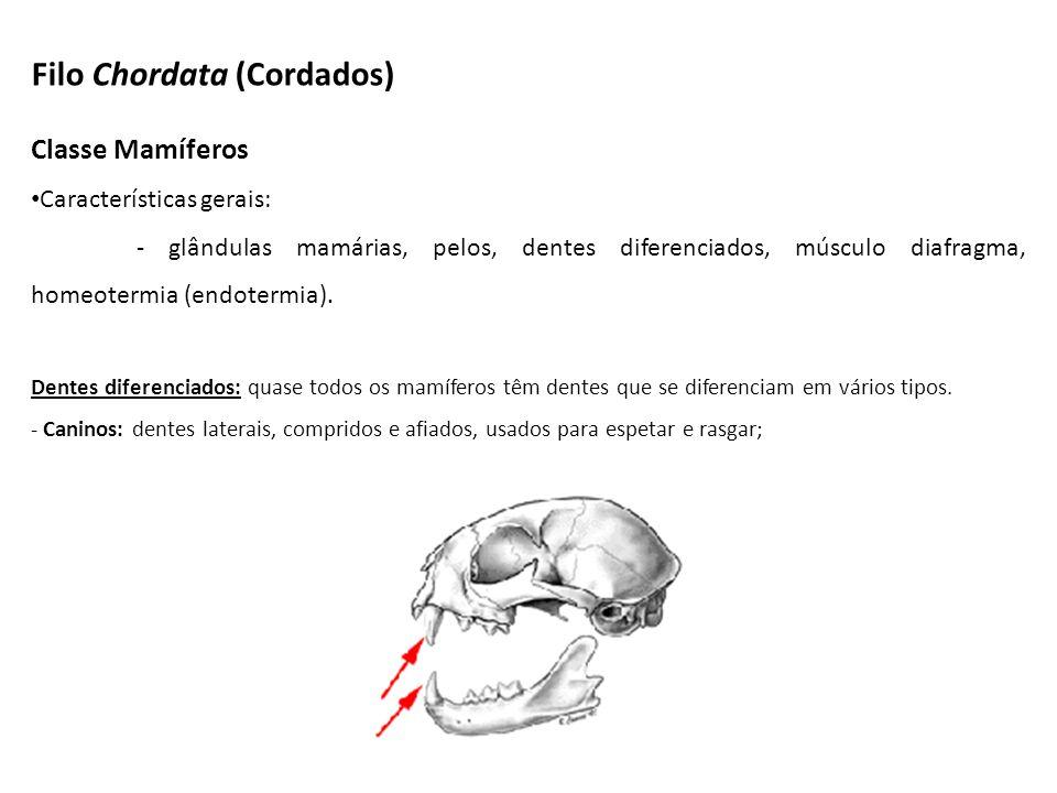 Classe Mamíferos Características gerais: - glândulas mamárias, pelos, dentes diferenciados, músculo diafragma, homeotermia (endotermia). Dentes difere