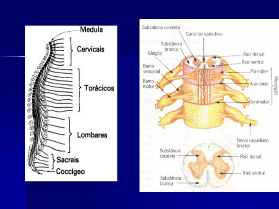 Sistema Nervoso Periférico (SNP) Conecta o sistema nervoso central às diversas partes do corpo Constituído basicamente por nervos e por gânglios nervo