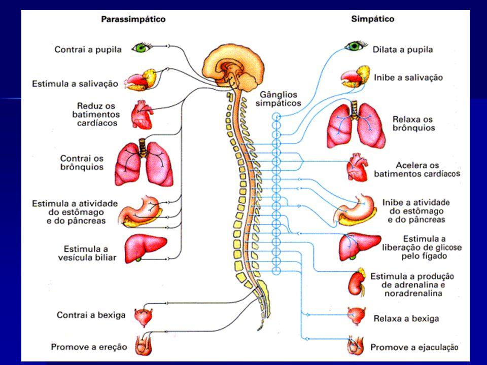 O SNP Autônomo Simpático estimula ações que mobilizam energia, permitindo ao organismo responder a situações de estresse. Por exemplo, o sistema simpá