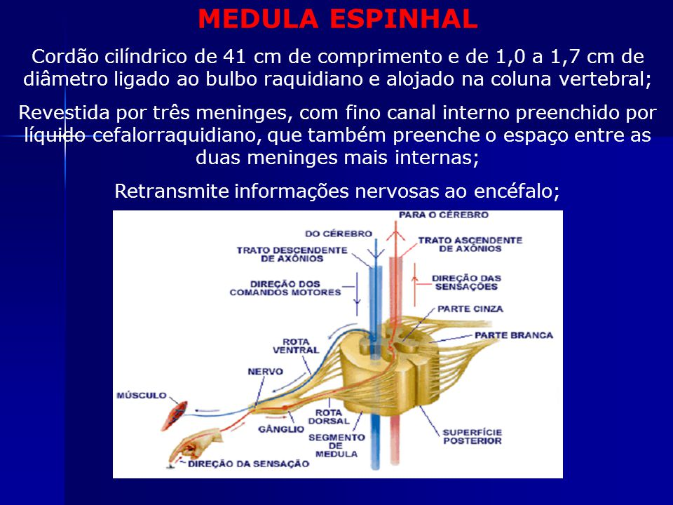 MEDULA ESPINHAL Cordão cilíndrico de 41 cm de comprimento e de 1,0 a 1,7 cm de diâmetro ligado ao bulbo raquidiano e alojado na coluna vertebral; Revestida por três meninges, com fino canal interno preenchido por líquido cefalorraquidiano, que também preenche o espaço entre as duas meninges mais internas; Retransmite informações nervosas ao encéfalo; Atua no ato reflexo;