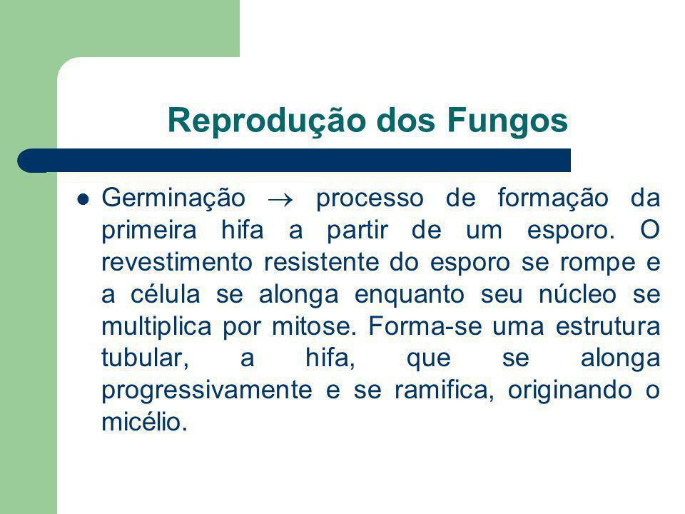 Reprodução dos Fungos Germinação processo de formação da primeira hifa a partir de um esporo. O revestimento resistente do esporo se rompe e a célula
