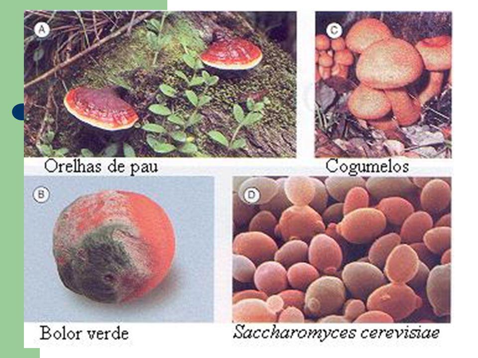 Micorrizas associação de fungos com raízes de vegetais; - o fungo aumenta a capacidade de absorção de minerais escassos no solo pelas raízes; - o vegetal cede açúcares, aminoácidos e outras substâncias orgânicas das quais os fungos se nutrem.