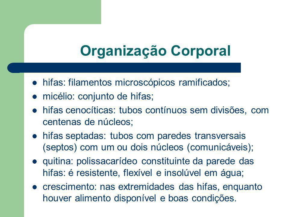 Organização Corporal hifas: filamentos microscópicos ramificados; micélio: conjunto de hifas; hifas cenocíticas: tubos contínuos sem divisões, com cen