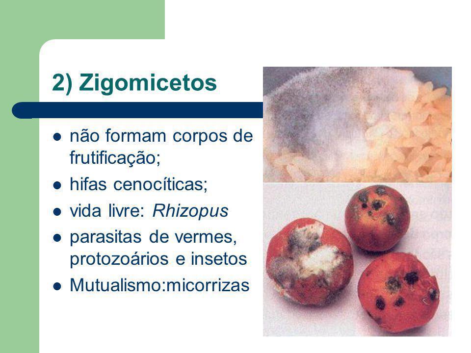 2) Zigomicetos não formam corpos de frutificação; hifas cenocíticas; vida livre: Rhizopus parasitas de vermes, protozoários e insetos Mutualismo:micor