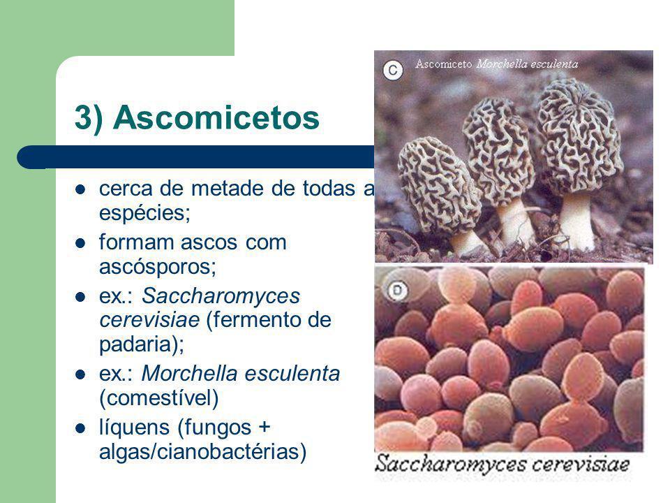 4) Basidiomicetos formam basídios com basidiósporos; cogumelos (Agaricus campestris)