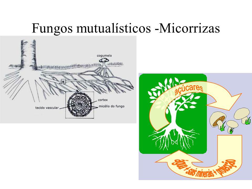 Fungos mutualísticos -Micorrizas