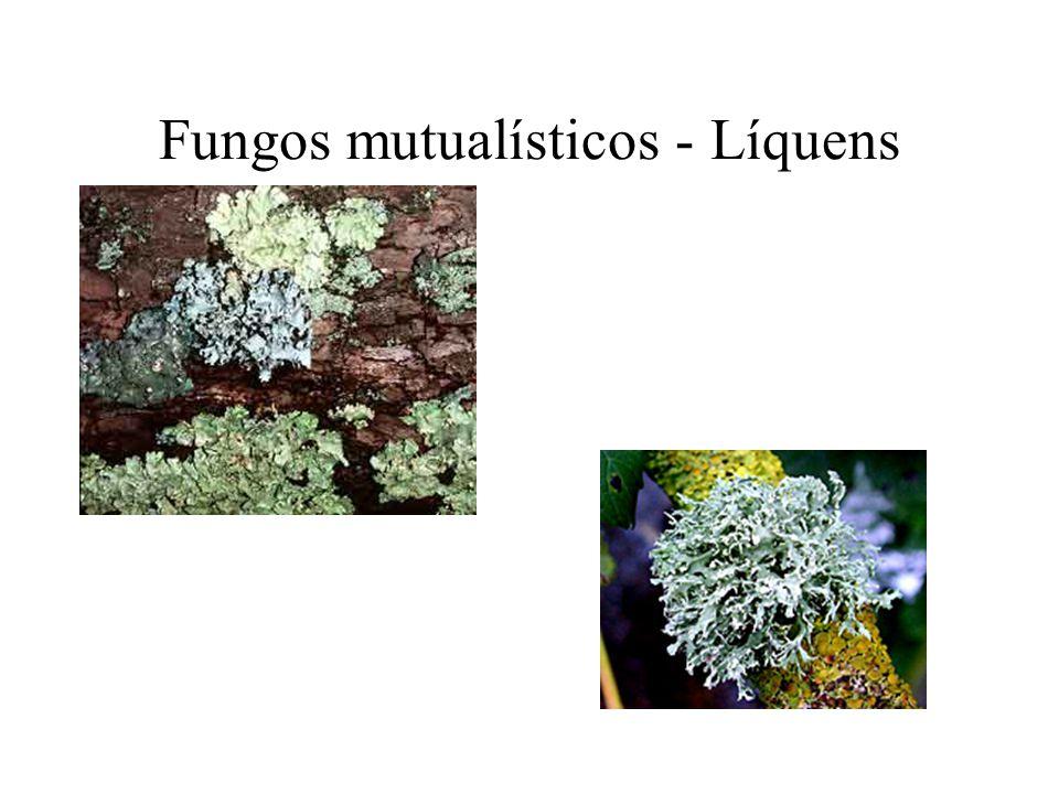 Fungos mutualísticos - Líquens