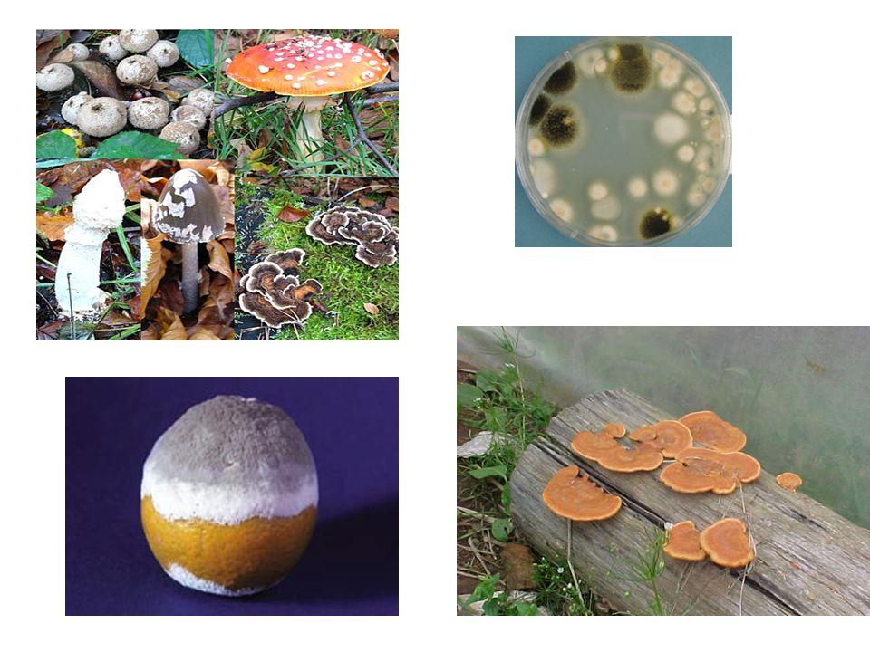 Fungos predadores