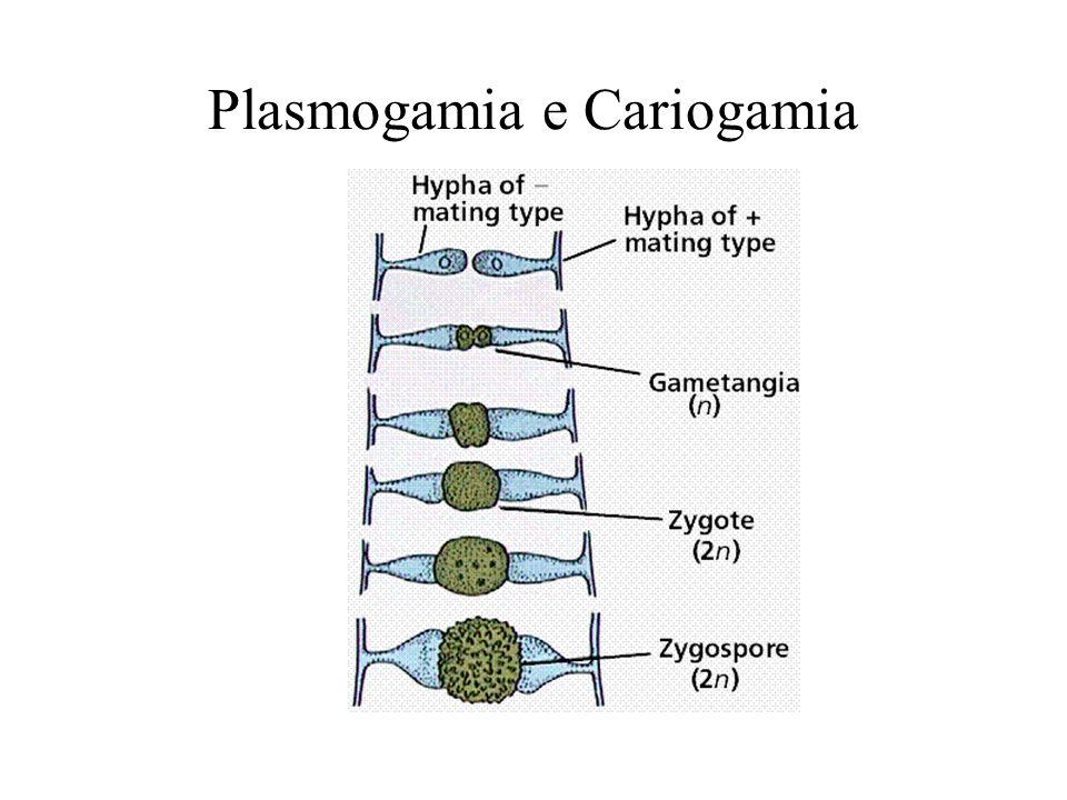Plasmogamia e Cariogamia