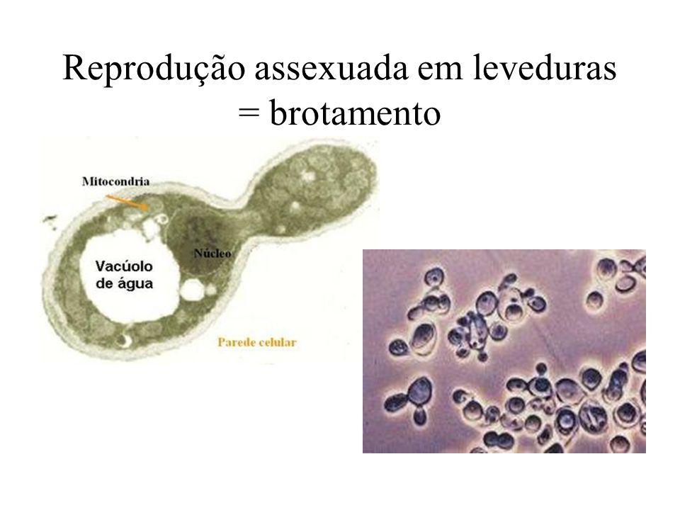 Reprodução assexuada em leveduras = brotamento