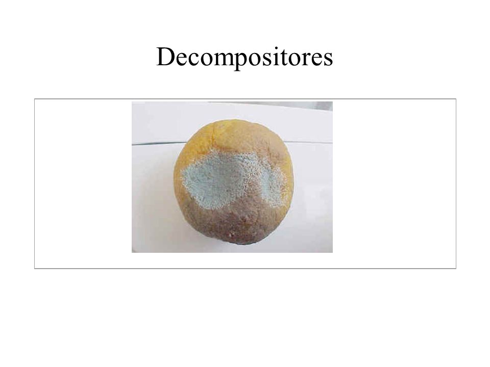 Classificação dos fungos Ascomycota (ascomicetos) – ascocarpos (corpo de frutificação) – ascos - ascósporos (fase sexuada); conidiósporos – conídias (esporos) (fase assexuada).