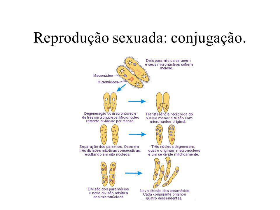 Reprodução assexuada: bipartição