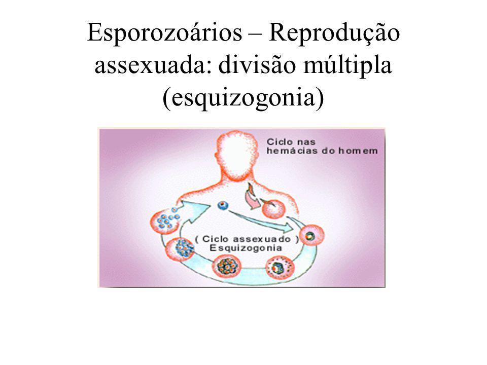 ESPOROZOÁRIOS TODOS ENDOPARASITAS; Sem presença de estruturas locomotoras; Plasmodium sp (malária) Ciclos de vida complexos (reprodução sexuada, com gametas e fecundação, e assexuada)
