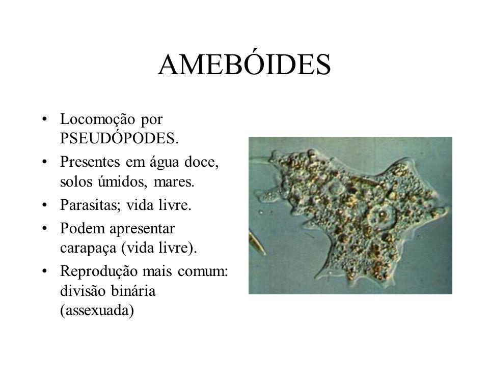 AMEBÓIDES Locomoção por PSEUDÓPODES.Presentes em água doce, solos úmidos, mares.