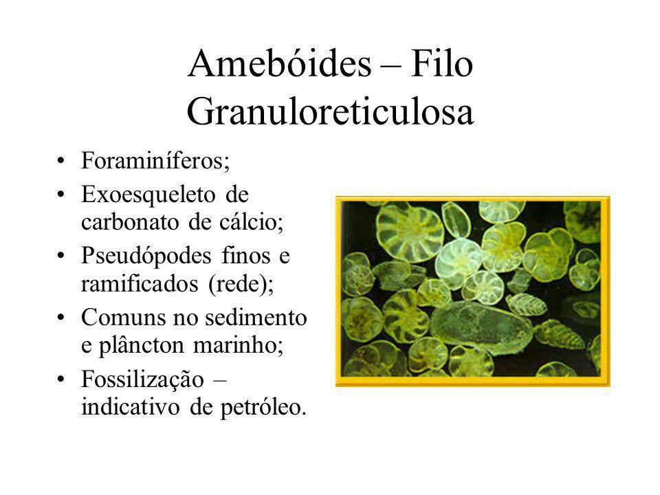 Amebóides – Filo Granuloreticulosa Foraminíferos; Exoesqueleto de carbonato de cálcio; Pseudópodes finos e ramificados (rede); Comuns no sedimento e plâncton marinho; Fossilização – indicativo de petróleo.