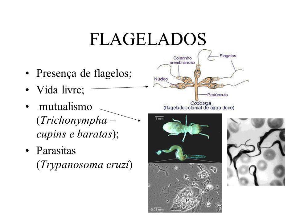 FLAGELADOS Presença de flagelos; Vida livre; mutualismo (Trichonympha – cupins e baratas); Parasitas (Trypanosoma cruzi)