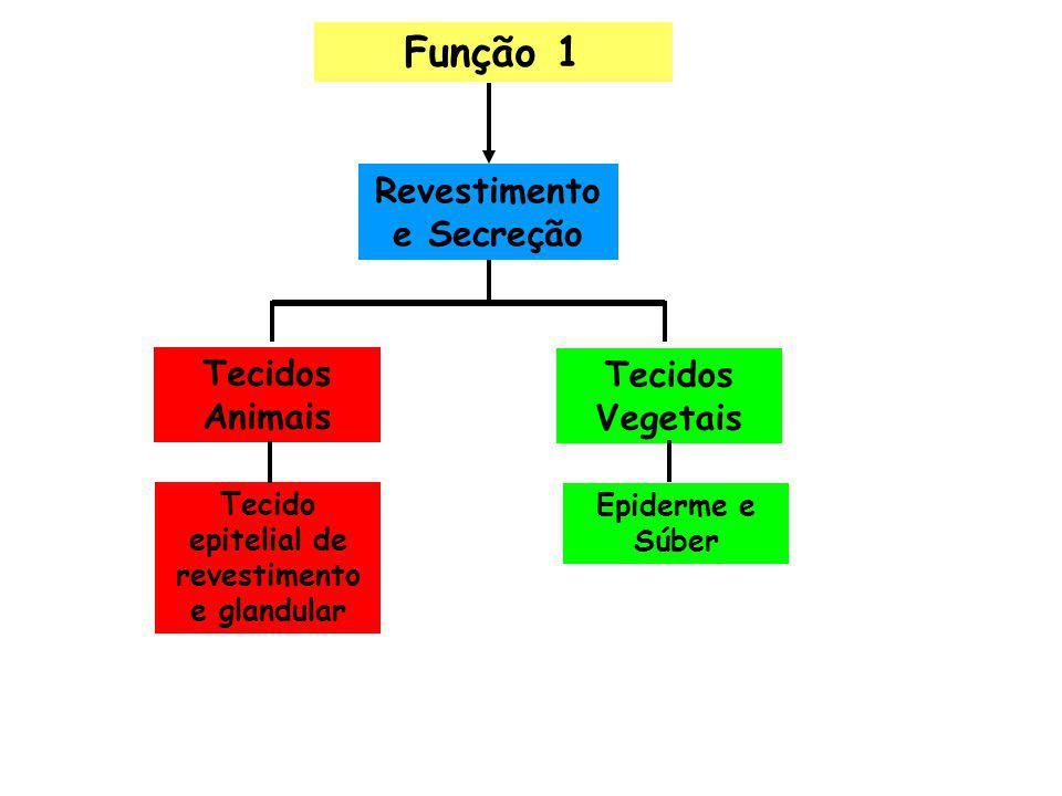 Função 1 Revestimento e Secreção Tecidos Animais Tecido epitelial de revestimento e glandular Tecidos Vegetais Epiderme e Súber