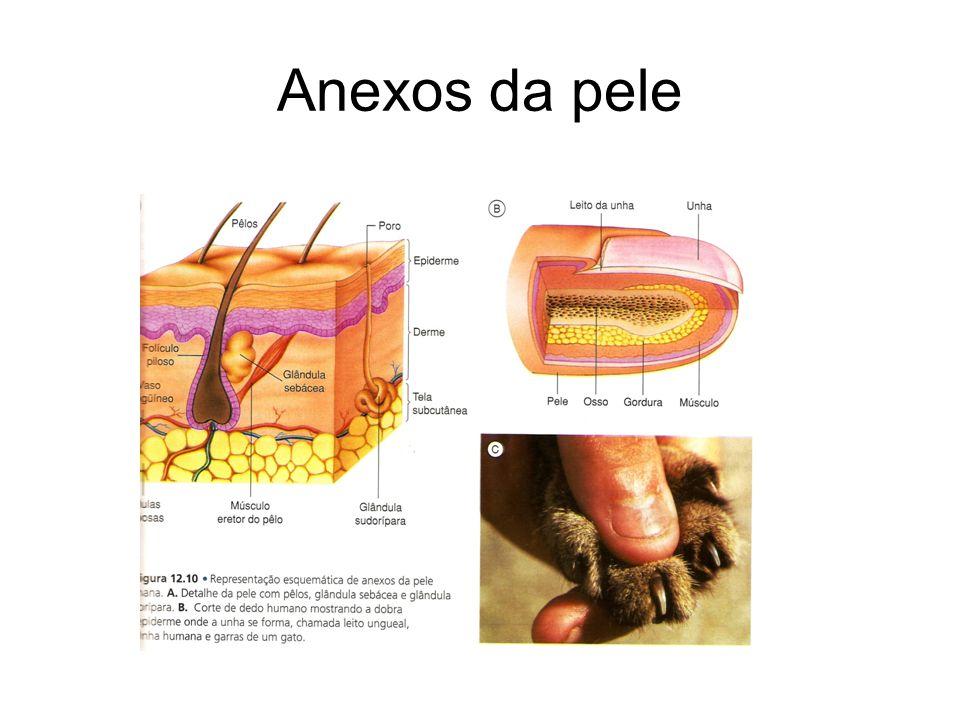 Anexos da pele