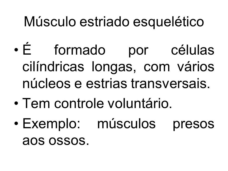 Músculo estriado esquelético É formado por células cilíndricas longas, com vários núcleos e estrias transversais. Tem controle voluntário. Exemplo: mú