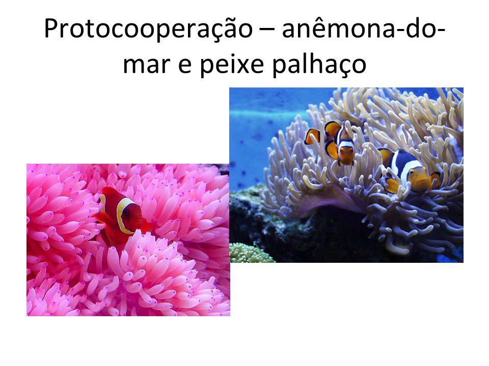 Protocooperação – anêmona-do- mar e peixe palhaço