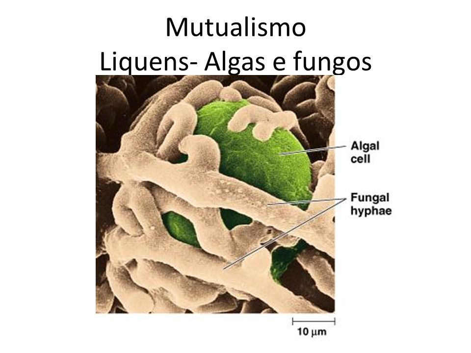 Mutualismo Liquens- Algas e fungos