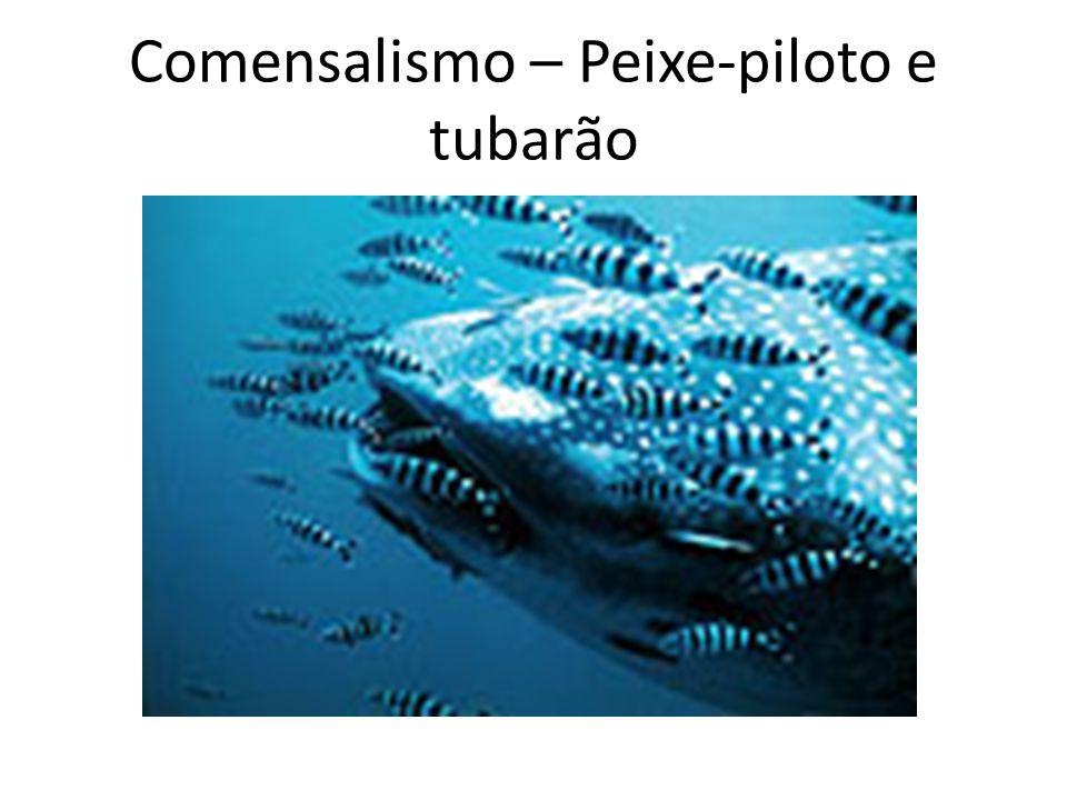 Comensalismo – Peixe-piloto e tubarão
