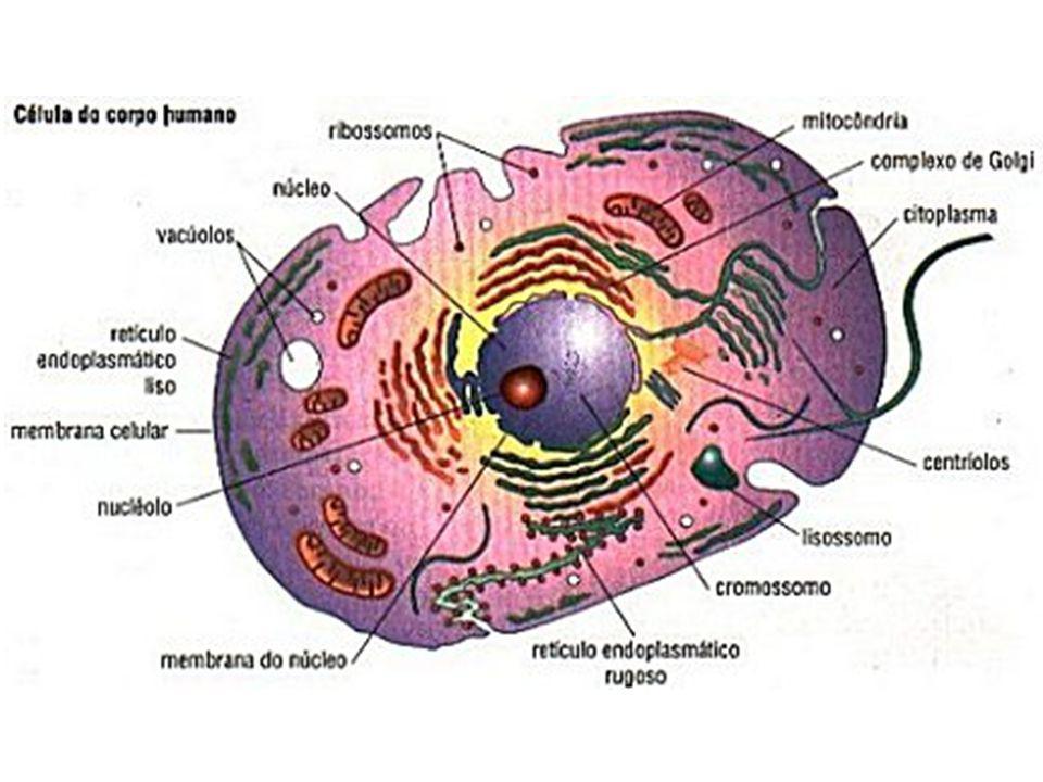 Medida: 2 X 0,5 micrômetros.As mitocôndrias são delimitadas por duas membranas.