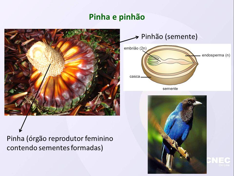 Pinha e pinhão Pinha (órgão reprodutor feminino contendo sementes formadas) Pinhão (semente)